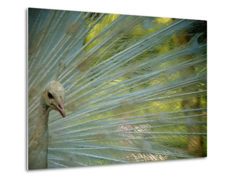 Close Up of an Albino Peacock-Heather Perry-Metal Print