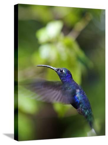 A Violet Sabrewing Hummingbird, Campylopterus Hemileucurus, in Flight-Marc Moritsch-Stretched Canvas Print