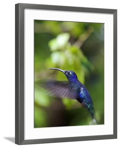 A Violet Sabrewing Hummingbird, Campylopterus Hemileucurus, in Flight-Marc Moritsch-Framed Art Print