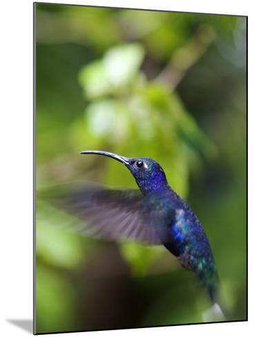 A Violet Sabrewing Hummingbird, Campylopterus Hemileucurus, in Flight-Marc Moritsch-Mounted Photographic Print