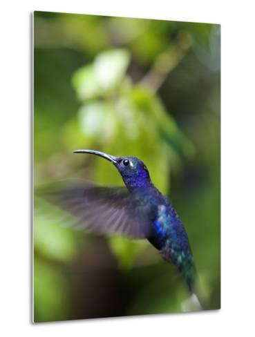 A Violet Sabrewing Hummingbird, Campylopterus Hemileucurus, in Flight-Marc Moritsch-Metal Print