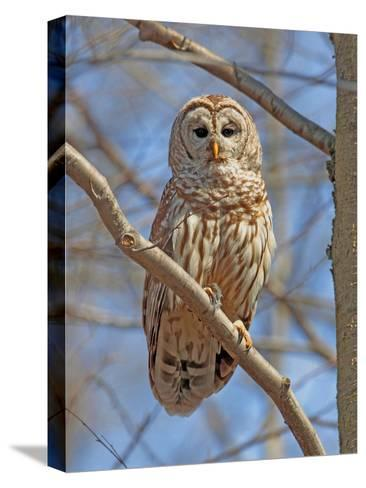 A Barred Owl, Strix Varia, Perched on a Tree Branch-George Grall-Stretched Canvas Print