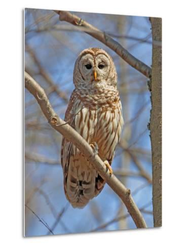 A Barred Owl, Strix Varia, Perched on a Tree Branch-George Grall-Metal Print