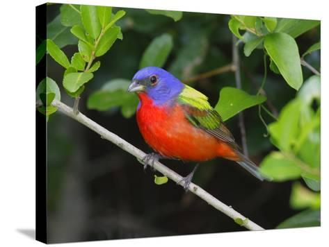 A Male Painted Bunting, Passerina Ciris, Perched, Listening for Song-George Grall-Stretched Canvas Print
