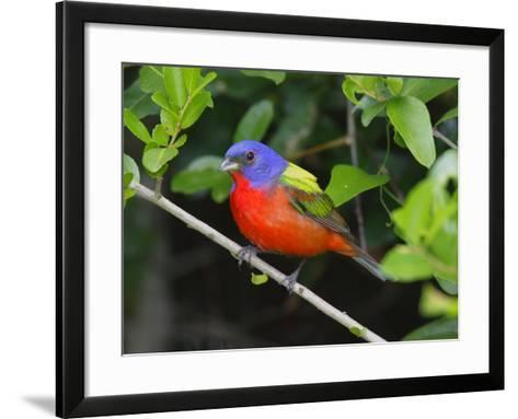 A Male Painted Bunting, Passerina Ciris, Perched, Listening for Song-George Grall-Framed Art Print