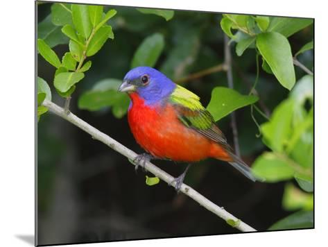 A Male Painted Bunting, Passerina Ciris, Perched, Listening for Song-George Grall-Mounted Photographic Print