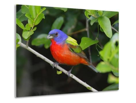 A Male Painted Bunting, Passerina Ciris, Perched, Listening for Song-George Grall-Metal Print