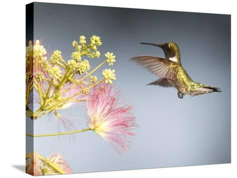 A Male Ruby-Throated Hummingbird Feeding on Mimosa Flowers-George Grall-Stretched Canvas Print