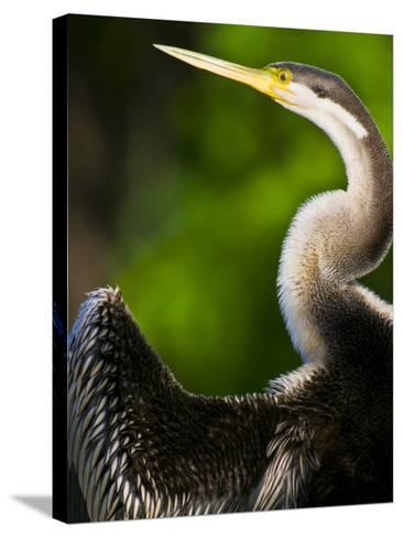 A Roosting Long-Necked Australian Darter Drying its Wing Feathers-Jason Edwards-Stretched Canvas Print
