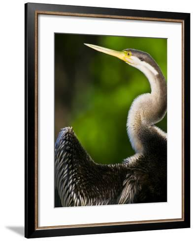 A Roosting Long-Necked Australian Darter Drying its Wing Feathers-Jason Edwards-Framed Art Print