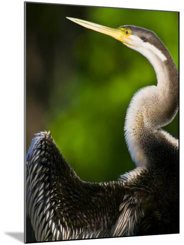 A Roosting Long-Necked Australian Darter Drying its Wing Feathers-Jason Edwards-Mounted Photographic Print