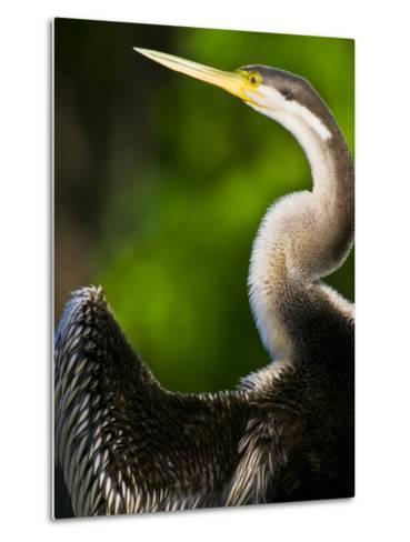 A Roosting Long-Necked Australian Darter Drying its Wing Feathers-Jason Edwards-Metal Print