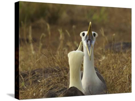 Waved Albatrosses, Phoebastria Irrorata, in Courtship Behavior-Tim Laman-Stretched Canvas Print