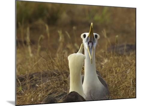 Waved Albatrosses, Phoebastria Irrorata, in Courtship Behavior-Tim Laman-Mounted Photographic Print