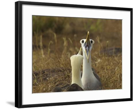 Waved Albatrosses, Phoebastria Irrorata, in Courtship Behavior-Tim Laman-Framed Art Print