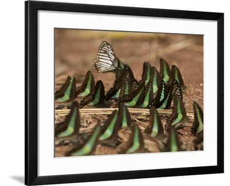 Butterflies Searching for Minerals Along the River Near Ruc Village-Peter Carsten-Framed Art Print