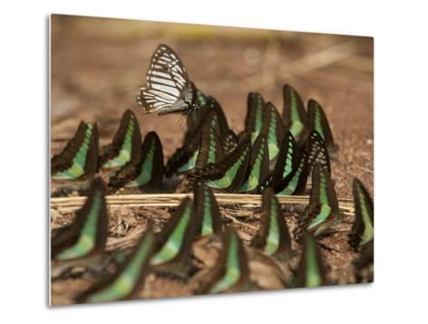 Butterflies Searching for Minerals Along the River Near Ruc Village-Peter Carsten-Metal Print