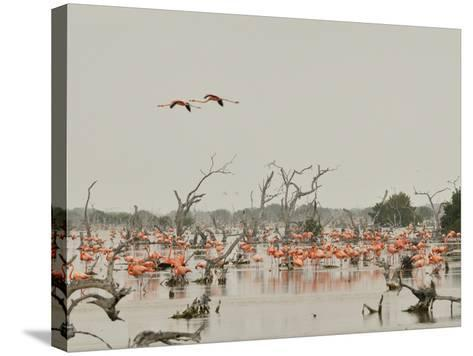 A Group of Caribbean Flamingos Among Dead Mangrove Trees-Klaus Nigge-Stretched Canvas Print