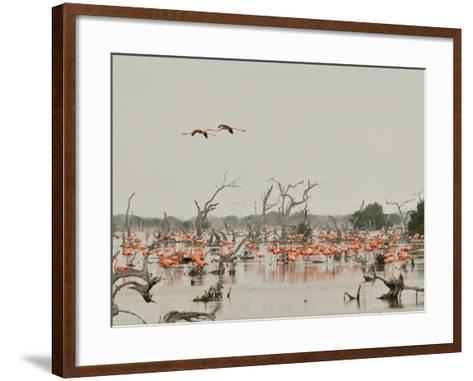 A Group of Caribbean Flamingos Among Dead Mangrove Trees-Klaus Nigge-Framed Art Print