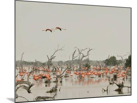 A Group of Caribbean Flamingos Among Dead Mangrove Trees-Klaus Nigge-Mounted Photographic Print