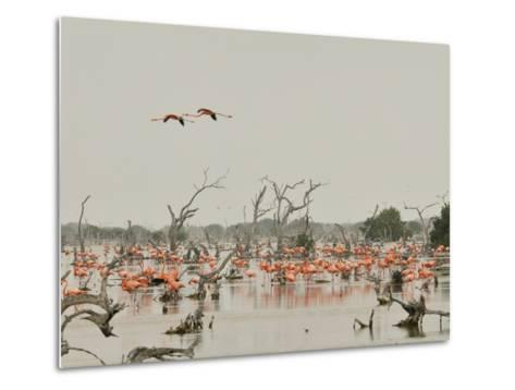 A Group of Caribbean Flamingos Among Dead Mangrove Trees-Klaus Nigge-Metal Print