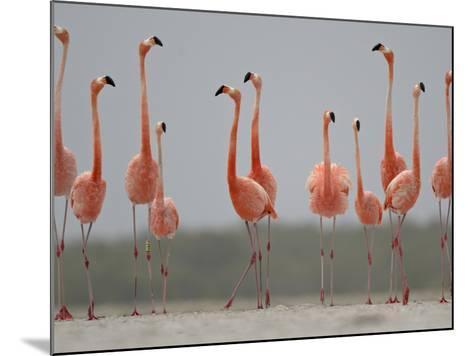 Caribbean Flamingos in Display Behavior-Klaus Nigge-Mounted Photographic Print