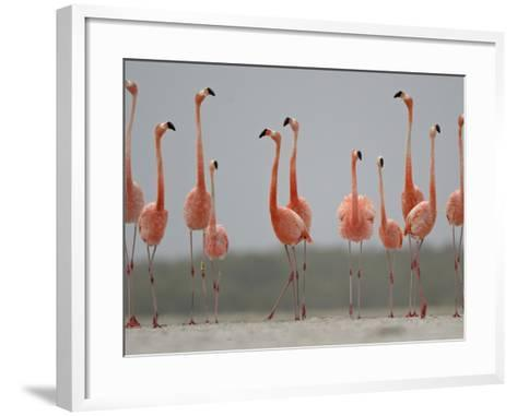 Caribbean Flamingos in Display Behavior-Klaus Nigge-Framed Art Print