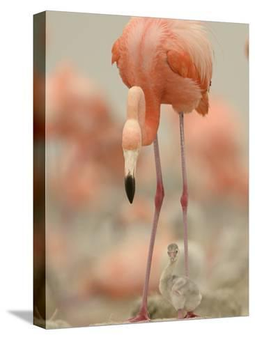 A Caribbean Flamingo with Chick in a Breeding Colony-Klaus Nigge-Stretched Canvas Print