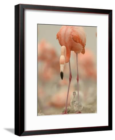 A Caribbean Flamingo with Chick in a Breeding Colony-Klaus Nigge-Framed Art Print