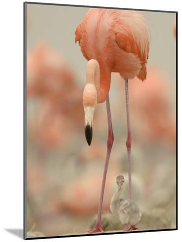 A Caribbean Flamingo with Chick in a Breeding Colony-Klaus Nigge-Mounted Photographic Print