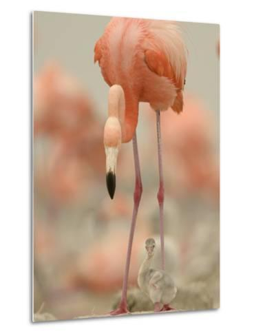 A Caribbean Flamingo with Chick in a Breeding Colony-Klaus Nigge-Metal Print