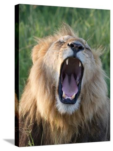 An African Lion Yawning-Roy Toft-Stretched Canvas Print