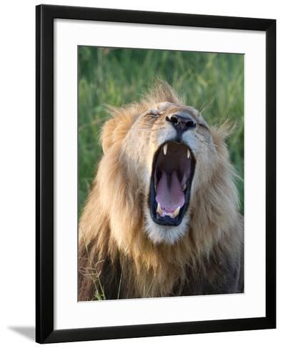 An African Lion Yawning-Roy Toft-Framed Art Print
