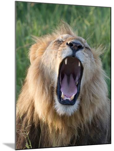 An African Lion Yawning-Roy Toft-Mounted Photographic Print