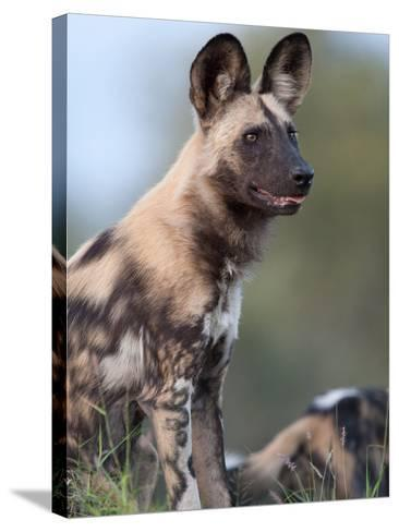 An Alert African Wild Hunting Dog, Lycaon Pictus-Roy Toft-Stretched Canvas Print