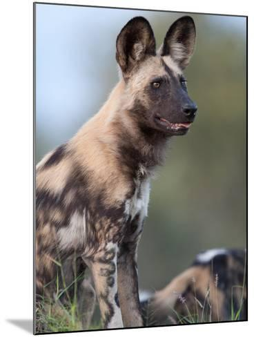 An Alert African Wild Hunting Dog, Lycaon Pictus-Roy Toft-Mounted Photographic Print