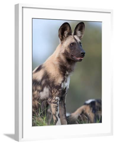 An Alert African Wild Hunting Dog, Lycaon Pictus-Roy Toft-Framed Art Print
