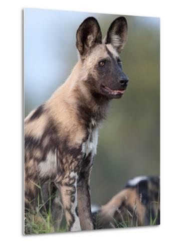An Alert African Wild Hunting Dog, Lycaon Pictus-Roy Toft-Metal Print
