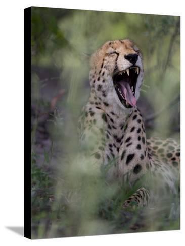 A Cheetah, Acinonyx Jubatus, Yawning-Roy Toft-Stretched Canvas Print