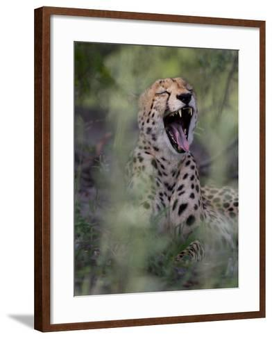 A Cheetah, Acinonyx Jubatus, Yawning-Roy Toft-Framed Art Print