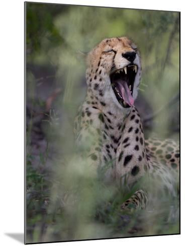 A Cheetah, Acinonyx Jubatus, Yawning-Roy Toft-Mounted Photographic Print