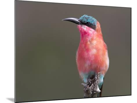 Portrait of a Southern Carmine Bee-Eater, Merops Nibicoides-Roy Toft-Mounted Photographic Print