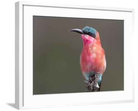 Portrait of a Southern Carmine Bee-Eater, Merops Nibicoides-Roy Toft-Framed Art Print