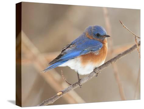 An Eastern Bluebird, Sialia Sialis, Perched on a Twig-George Grall-Stretched Canvas Print