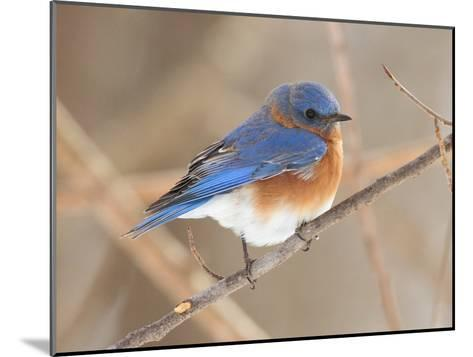 An Eastern Bluebird, Sialia Sialis, Perched on a Twig-George Grall-Mounted Photographic Print