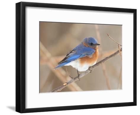 An Eastern Bluebird, Sialia Sialis, Perched on a Twig-George Grall-Framed Art Print