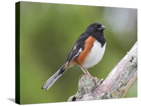 Male Eastern Towhee, Pipilio Eurythrophthalmus, on a Branch-George Grall-Stretched Canvas Print
