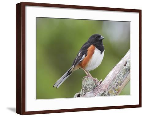Male Eastern Towhee, Pipilio Eurythrophthalmus, on a Branch-George Grall-Framed Art Print