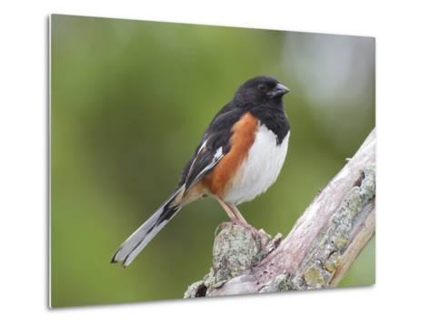 Male Eastern Towhee, Pipilio Eurythrophthalmus, on a Branch-George Grall-Metal Print