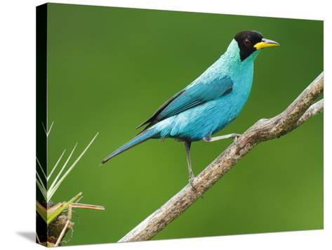 A Male Green Honeycreeper, Chlorophanes Spiza, Perched on a Branch-George Grall-Stretched Canvas Print